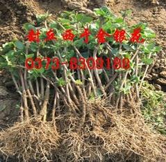 四季金银花种植基地