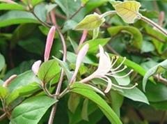 金银花的品种介绍