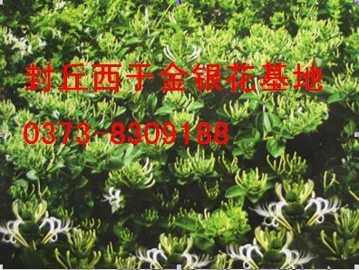 树本金银花苗 1