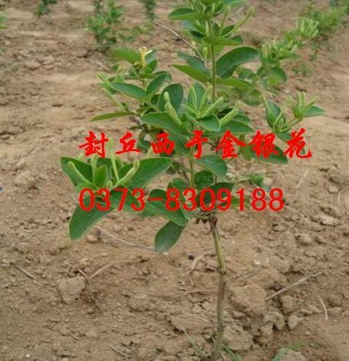金银花养殖 1