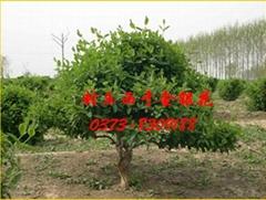 封丘县西于金银花种植专业合作社