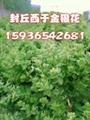 河南金银花种植基地
