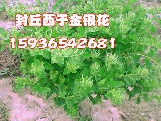 封丘金银花苗种植基地 1