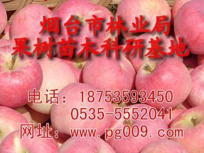山東煙台蘋果苗 1