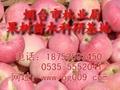 山東煙台蘋果苗