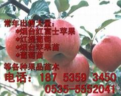 紅富士蘋果苗