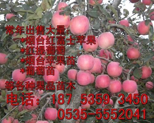 煙台紅富士蘋果苗價格 1
