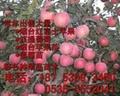 煙台紅富士蘋果苗價格