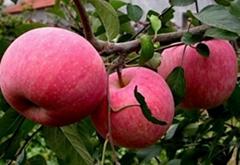 煙台蘋果苗木