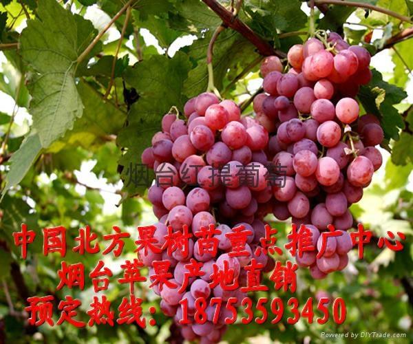 煙台紅提葡萄 1