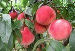 Fresh honey peach