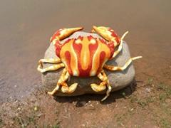 新仿真紅螃蟹