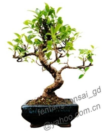Ficus-bonsai 1