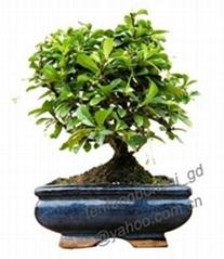 carmona-bonsai