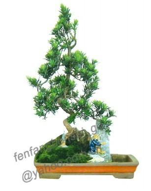 podocarpus-bonsai 1