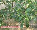 重庆核桃苗 1