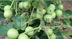 贵州核桃苗