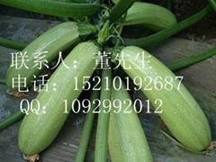 安娜-西葫芦种子
