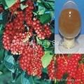 Fructus schisandrae chinensis P.E.