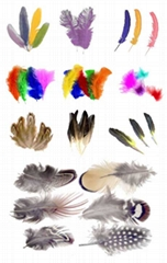 Peacock, Ostrich, Turkey, Coque, Pheasant, Goose, Milliner & Guinea Feathers