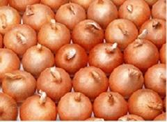 onion, fresh onion