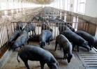 太湖母猪供应