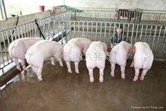 今日外三元仔猪老六猪场供应