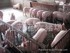 苗猪价格供应请到老六猪场来