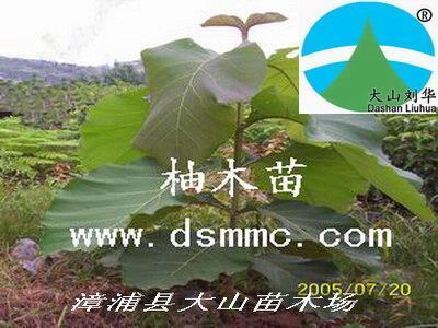 (三),漳州市政府大院里的有5棵柚木大树:树龄估计在25年,现胸径约40