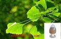 Ginkgo Biloba Leaf Extract 1