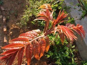 供應紅油香椿苗 3
