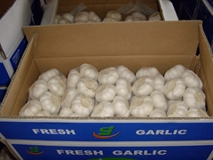 chinese fresh garlic crop 2012