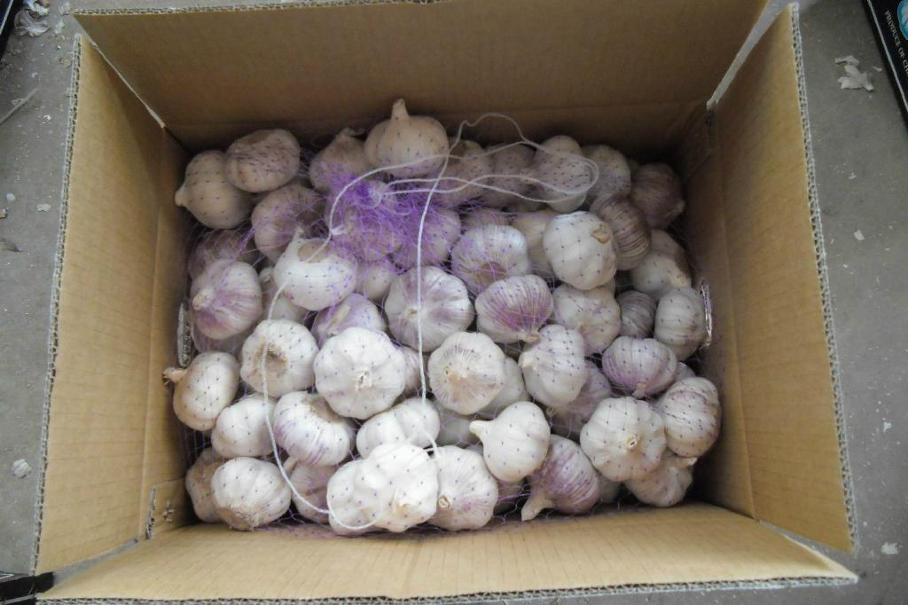 chinese fresh garlic crop 2012 3