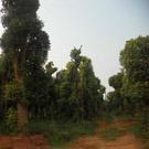 供應移植大型香樟樹