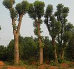 供應益陽移植大型香樟樹