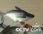 供應淡水鯊魚