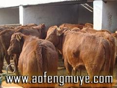 三元杂交牛改良肉牛