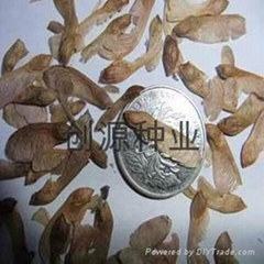 美國紅楓種子