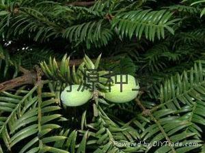 穗花杉种子 1