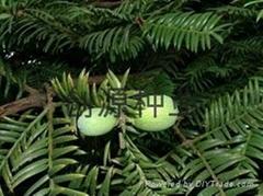 穗花杉種子