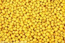 Soybean P.E.