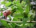 颠茄提取物