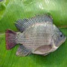 Frozen Black Tilapia Fish Whole Round