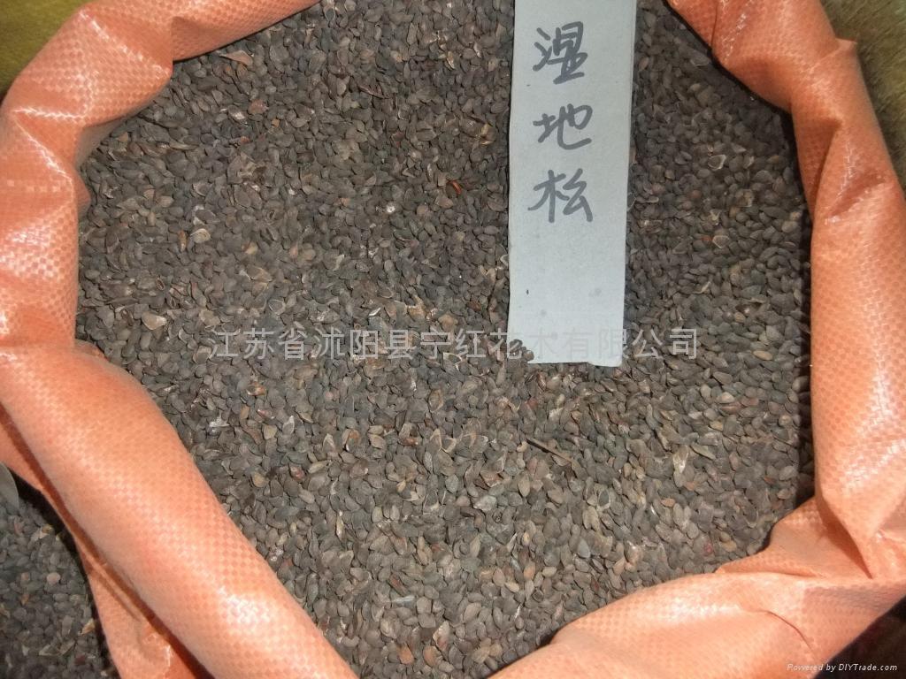 扁柏種子側柏種子 3