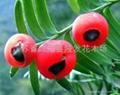 紅豆杉種子