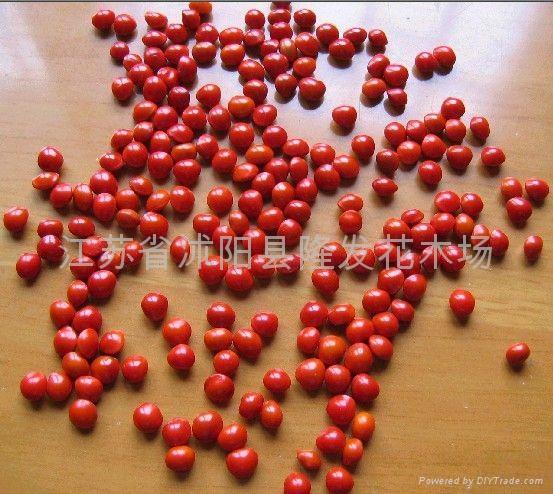 红豆种子 枫树种子 1