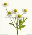 Chrysanthemum indicum P.E.10:1 test by