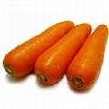速冻胡萝卜 3