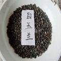 白玉蘭種子