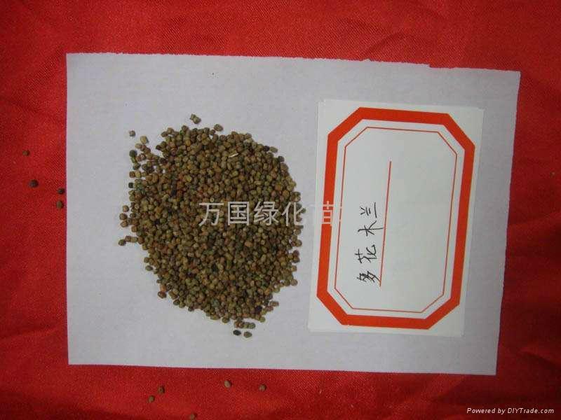 多花木蘭種子 1